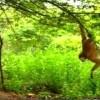 Monkey Teasing Tigers – Amazing Video!
