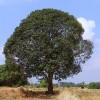 mango-tree-276110_640
