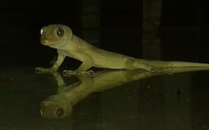 A_lizard_found_in_many_homes_in_India.