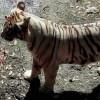 tiger-l2