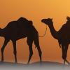 arab camels