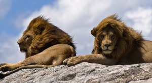 Lions_on_rock-2